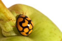 Coccinelle sur la poire verte Photo stock