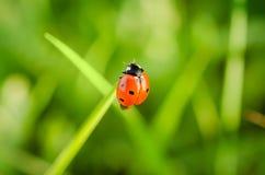 Coccinelle sur la tige d'herbe Image libre de droits