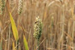 Coccinelle sur le blé Photos libres de droits