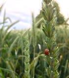 Coccinelle sur le blé Photo libre de droits