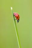 Coccinelle sur le champ d'herbe Image stock