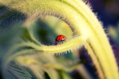 Coccinelle sur le tournesol Photo stock