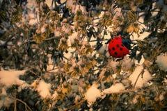 Coccinelle sur les fleurs sèches photo libre de droits