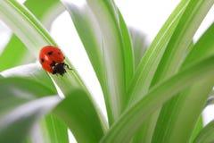 Coccinelle sur les pousses vertes Photos libres de droits