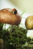 Coccinelle sur un champignon dans la mousse de forêt Image stock