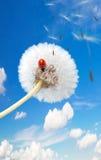 Coccinelle sur un pissenlit Image stock