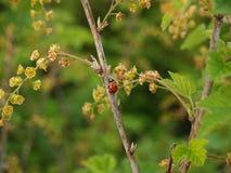 Coccinelle sur une branche de groseille rouge de floraison (rubrum L de Ribes ) Photos stock