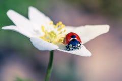 Coccinelle sur une fleur d'anémone Image stock