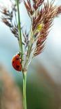Coccinelle sur une lame d'herbe Photographie stock libre de droits