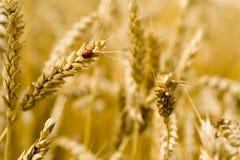 Coccinelle sur une transitoire de blé Images stock