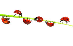 Coccinelles images stock