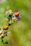 Coccinelles Photo stock
