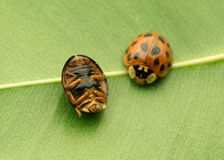 Coccinelles Image stock