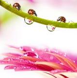Coccinelles et fleur couverte de rosée Photo stock
