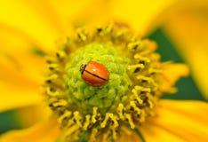 coccinellidae Zdjęcie Royalty Free