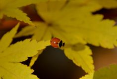LADYBUG CLIMBING ON A MAPLE TREE. Coccinellidae crawling through the leaves of a Choral bark maple tree in Autumn Royalty Free Stock Image