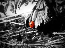Coccinellidae Stock Images