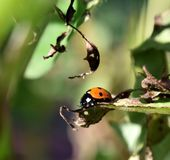 Coccinellidae in the garden Royalty Free Stock Images
