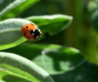 Coccinellidae in the garden Royalty Free Stock Image