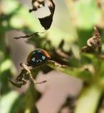 Coccinellidae in the garden Stock Photos