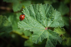 Coccinellidae or Ladybirds Stock Photo