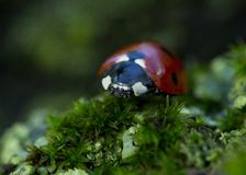 Coccinellidae Royalty Free Stock Images