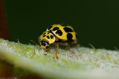 Coccinellidae Royalty Free Stock Photo