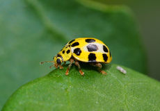 Coccinellidae. Yellow ladybird resting on plant Royalty Free Stock Photography