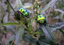 Coccinellids-ladybirds-ladybugs Стоковая Фотография