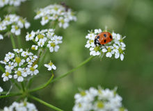 Coccinellids, ladybug rojo Fotos de archivo