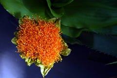 Coccineus Haemanthus Стоковые Изображения