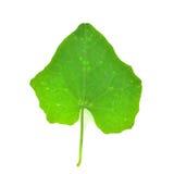 Coccinia grandis叶子 库存照片