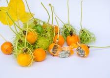 Coccinia Grandis金子在庭院是常春藤36 ORF 免版税库存图片