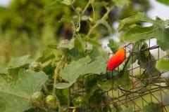 Coccinia grandis (葫芦科) 库存图片