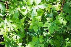 Coccinia grandis Στοκ εικόνες με δικαίωμα ελεύθερης χρήσης