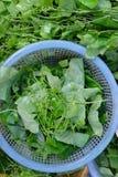 Coccinia grandis, Cucurbitaceae, fresh vegetables, top view Stock Photography