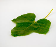 Coccinia Grandis-Gold im Garten ist Efeu Lizenzfreies Stockbild