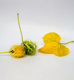 Coccinia Grandis-Gold im Garten ist Efeu ORF Lizenzfreie Stockbilder