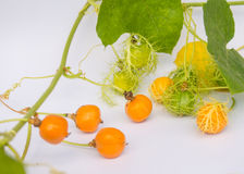 Coccinia Grandis-Gold im Garten ist ivy-36 ORF Lizenzfreies Stockbild