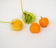 Coccinia Grandis-Gold im Garten ist ivy-36 ORF Lizenzfreies Stockfoto