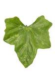 Coccinia grandis leaf Stock Photos