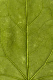 Coccinia Grandis Leaf Texture Background Pattern. Beautiful green texture of Ivy gourd leaf pattern great for all your favorite Background Royalty Free Stock Images