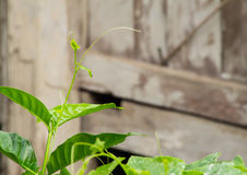 Coccinia grandis nachdem dem Regnen lizenzfreie stockbilder
