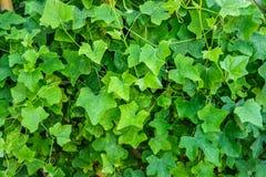 Coccinia grandis roślina Fotografia Stock