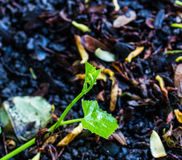 Coccinia grandis (tamlueng) Stockfotos
