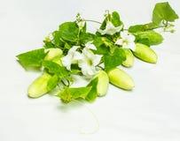 Coccinia grandis Stock Photo