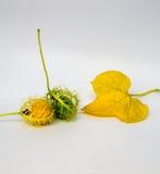 Coccinia Grandis złoto w ogródzie jest bluszczem ORF Obrazy Royalty Free