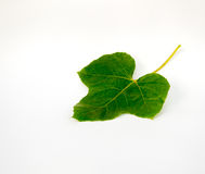 CocciniaGrandis guld i trädgården är murgrönan Royaltyfri Foto