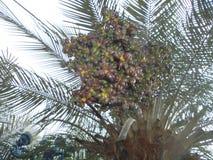 Cocco producendo i primi frutti immagini stock