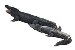 coccodrilli Immagini Stock Libere da Diritti